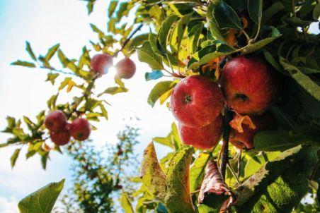 Äpfel Apfel Cider